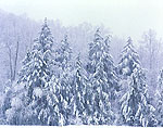 Hemlocks in Snowstorm