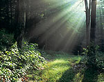 Woodland Path with Sunbeams