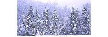 Hemlocks in Snowstorm