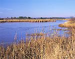 Cattail Marsh along Dead Creek