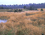 Golden Grasses in Wet Meadow in Early Winter