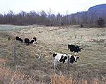 Holstein Heifers in Pasture in Early Winter