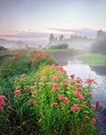 Morning Light on Joe-Pye Weed in Wet Meadow, Lawrence Brook