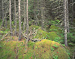 Moss-covered Spruce Forest