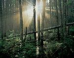 Light and Mist in Balsam Fir Forest, Mt. Moosilauke