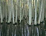 Tupelo Swamp in Fall, Lonoke County