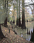 Bald Cypress in Lambert Bayou in Fall, White River National Wildlife Refuge