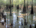 Bald Cypress Trees and