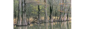 """Bald Cypress Trees at Lake """"H"""" in Fall"""