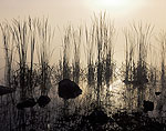Fog and Early Morning Light, Sweet Bay Pond