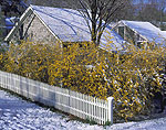 Forsythia with White Picket Fence and Barn Roofs in Early Spring Snow