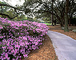 Azaleas and Path at Robert Trent Jones Golf Course