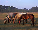 Horses in Early Morning Light, Lawton Stables, Sea Pines Plantation