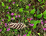Gay Wings, Moss, Pine Cone and Canada Mayflower on Forest Floor
