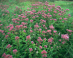 Dense Joe-Pye Weed in Wet Meadow
