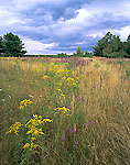 Sun-burnt Grasses, Goldenrod and Blazing Star