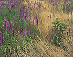 Sun-burnt Grasses and Blazing Star