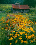 Gloriosa Daisies and Old Barn, Waits River Farm