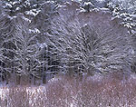 Red Maple Trees and Seedlings after Fresh Snowfall