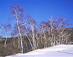 Row of Birches in Winter, Taconics Region
