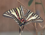 Zebra Swallowtails Mating