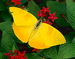 Orange Barred Sulfur Butterfly