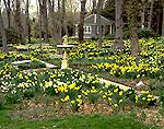 Daffodils in Full Bloom, Blithewold Arboretum