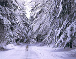 Snow-laden Hemlocks along Country Road