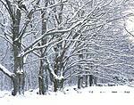 Sugar Maples and Stonewall after Fresh Snowfall