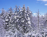 Blue Sky, White Pines and Hemlocks after Heavy Snowfall