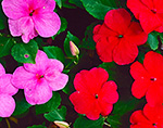 Close-up view of Red and Pink Impatiens