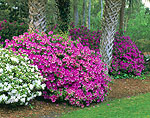 White and Magenta Azaleas with Palm Trees, Hilton Oceanfront Resort