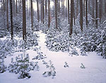 Path through White Pine and Red Pine Forest after Snowfall