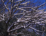 Snow-covered White Oak Branches