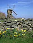 Daffodils and Jamestown Historical Society 1787 Windmill