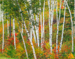 White Birch Tree Trunks and Autumn Foliage, The Shelburne Birches, White Mountains Region, Shelburne, NH