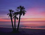 Palm Tree on Beach at Predawn