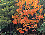 Red Maple and White Pine
