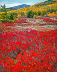 Huckleberry in Fall, Acadia National Park, ME