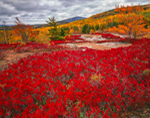 Huckleberry and Acadia National Park Landscape, Acadia National Park, Maine