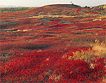 Maine Blueberry Field in Fall