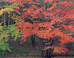 Red Maples in Fall Foliage along Millers River