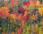 Brilliant Fall Foliage in Woodlands, Templeton, MA