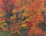 Maples in Brilliant Fall Colors