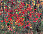 Red Maple in Lowland Forest