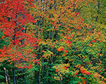 Mixed Colors in Red Maples