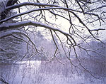 Overhanging Red Oak Branches on a Snowy and Foggy Winter Day