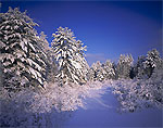 White Pine Forest and Wetlands under Blue Skies after a Snowstorm