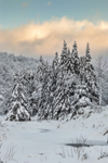 Snow-covered Conifers in Green Mountain National Forest near Deerfield River, Somerset, VT