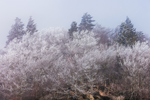 Snow and Ice Coat Tree Tops at Newfound Gap during Unexpected Snowstorm, Great Smoky Mountains National Park, TN and NC